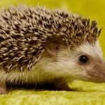 Wild Things - Hedgehog
